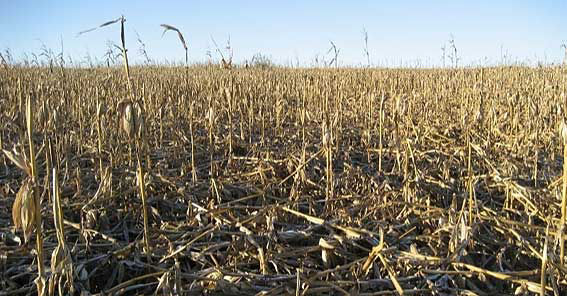 Photo showing late field with lodged corn stalks.