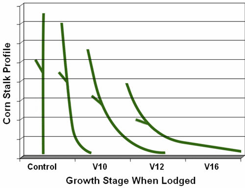 Graphic representation of corn stalk angle and ear height following simulated wind lodging at V10, V12, and V16 stages vs. control (no lodging).