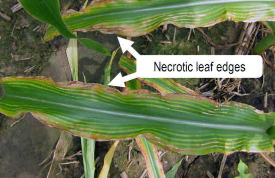 necrotic leaf edges