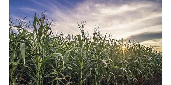 Maize East Image