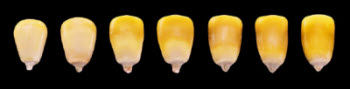 Progression of milk line in corn.