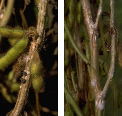White mold on soybean stems