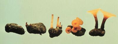 Mushroom-like apothecia