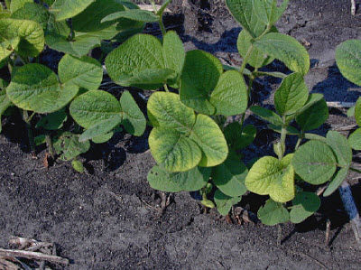 Potassium deficiency in soybeans.