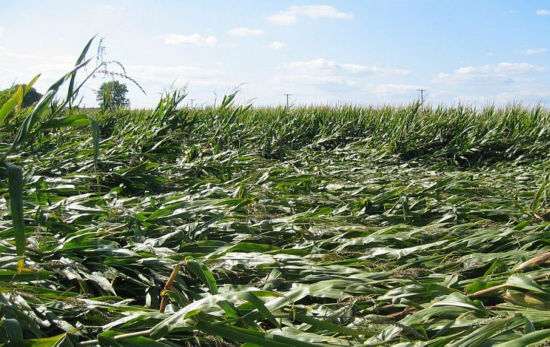 corn field damage from lodging