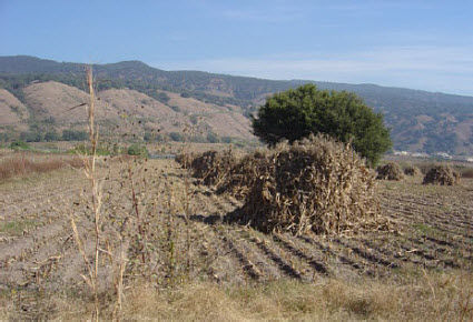 Corn shocks in a field in Central Mexico.