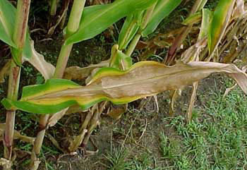Photo: Classic symptoms of nitrogen deficiency on corn leaf.