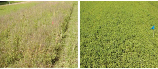 Alfalfa fields - Non-treated (left) vs. 3-5 trifoliate spray (right) prior to the first cutting of 2011.