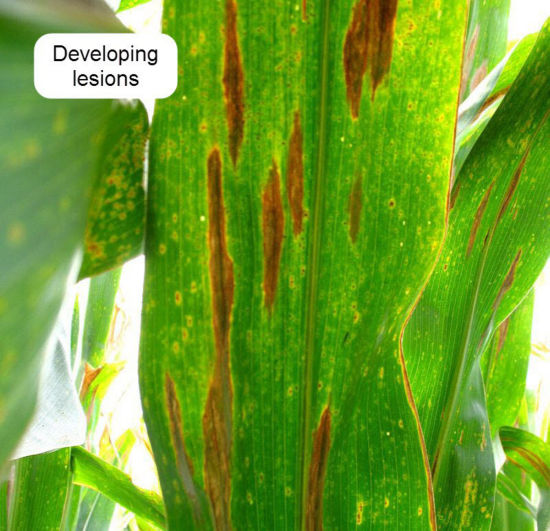 Developing lesions of northern corn leaf blight