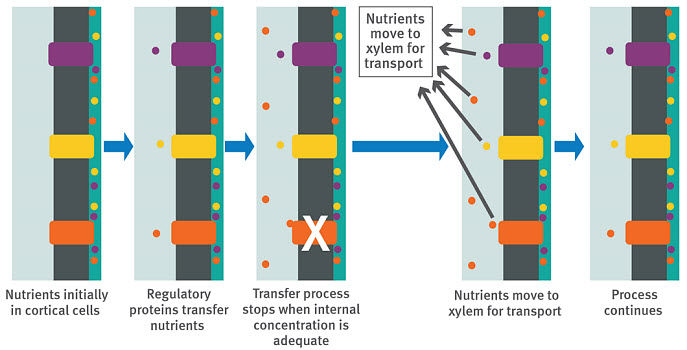 Regulatory process for nutrient uptake.