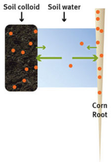 Nutrient transfer between soil colloid and corn root.