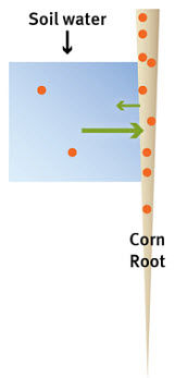 Nutrient transfer between soil water and corn root.