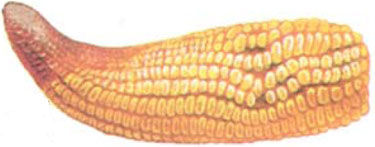 corn ear showing phosphate shortage symptoms
