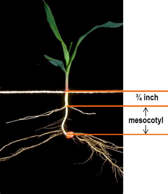 corn mesocotyl