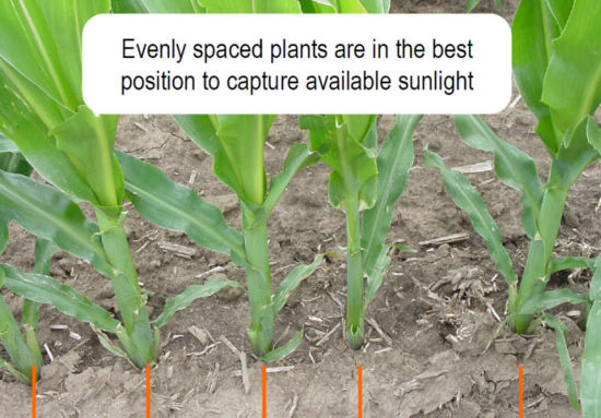 corn spacing