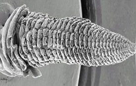 Development of the primary corn ear.