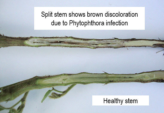 This photo shows a healthy soybean stem vs. stem infected with phytophthora.