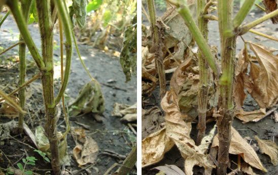 These photos show the dark brown lesions of phytophthora root rot on soybean stems.