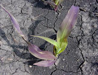 Corn seedling showing purple color due to phosphorus deficiency.