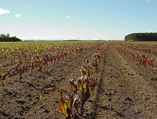 Purpling of early season corn.