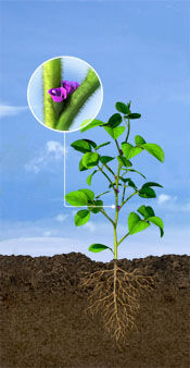 R1 Soybean Stage: Beginning Bloom