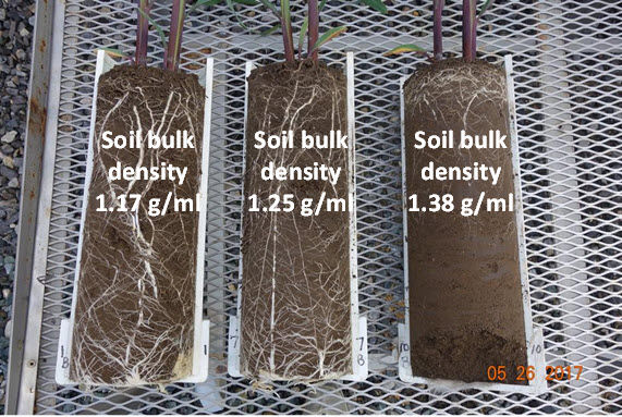Photo: Root growth of corn plants (V5 growth stage) growing in soil compacted to different bulk densities before corn seeds were planted.