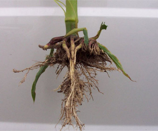 Restricted root growth caused by sidewall compaction at planting