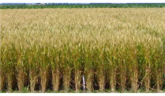 Photo: wheat field