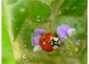 Abundance of lady beetles are often indicative of soybean aphid populations.
