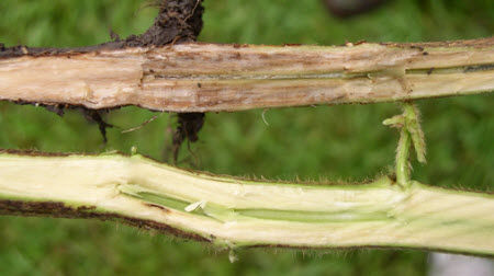 Split soybean stem on top shows stem symptoms of sudden death syndrome infection.