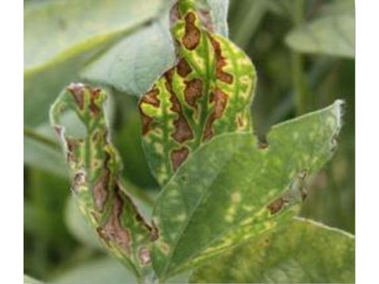 Sudden death syndrome (SDS) of soybeans.