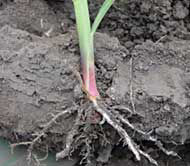 Soil compaction restricting corn root growth.