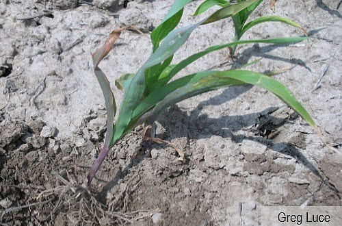 Photo of corn seedling showing the symptoms of wilting and deficiencies from grape colaspis.
