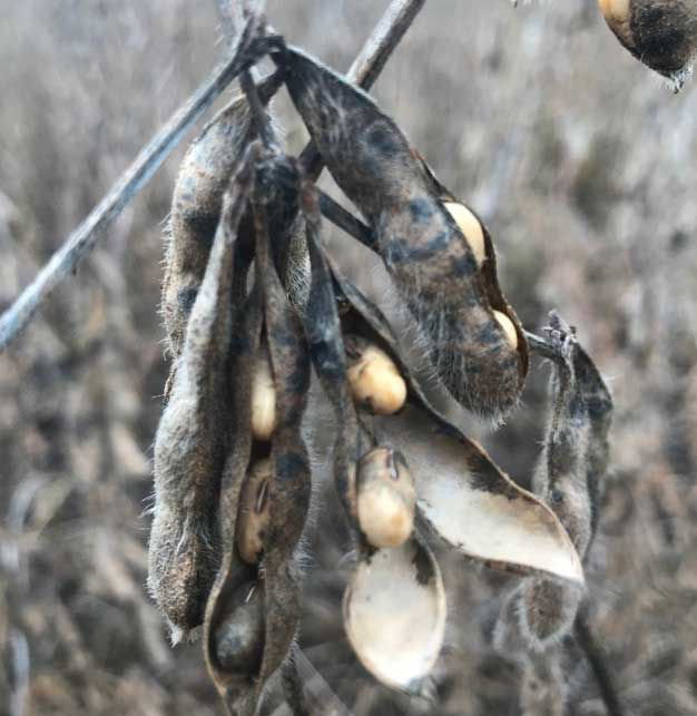 Photo showing swollen soybean seeds and ruptured pods with disease visible on both the pods and seeds.