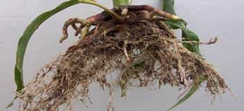 Stunted corn root development from planting in wet soil.