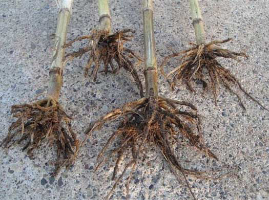Photo showing slug damage to root systems of a hybrid with Bt corn rootworm protection, which does not protect against slug damage.