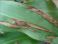 Leaf Blight in Grain Sorghum