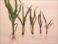 Seedling Blight - Grain Sorghum
