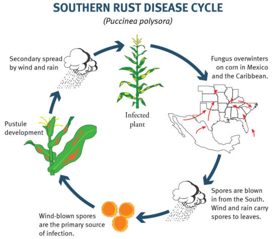 Southern Rust of Corn Lifecycle
