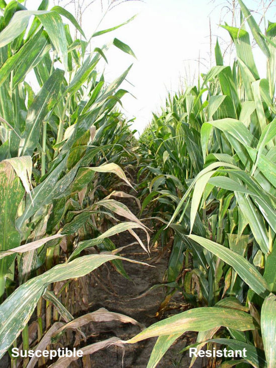 southern leaf blight susceptible and resistant corn hybrids in field