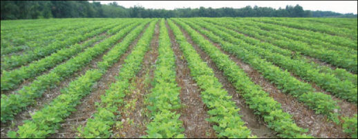 Soybeans in field