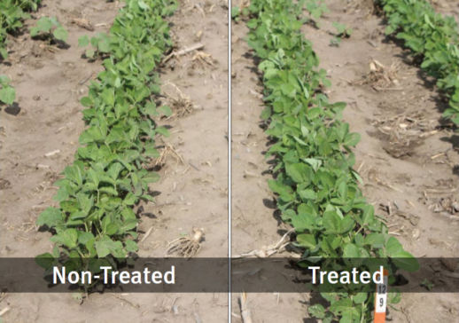 Photo showing a side-by-side comparison of non-treated soybeans vs. EverGol Energy + FST/IST + PPST 2030 in 2012.