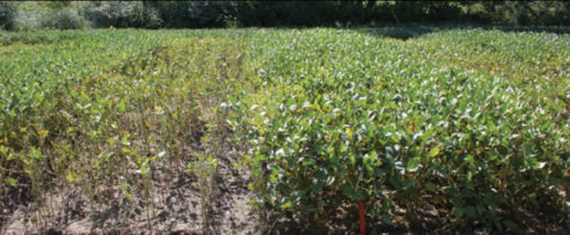 Differences in sudden death syndrome (SDS) symptoms between susceptible (left) and tolerant (right) soybean varieties in a Pioneer/Michigan State University research study.