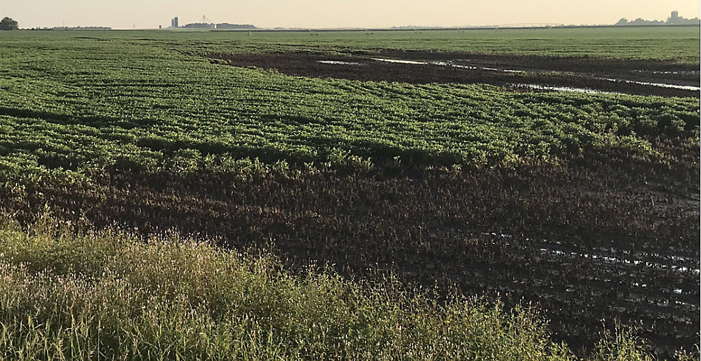 Soybean field damaged from flooding.