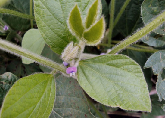 Reproductive growth stage of a soybean plant.