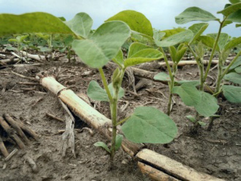 Soybean lateral branching.