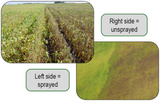 sprayed and unsprayed field for soybean aphids