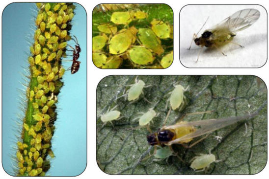 Soybean aphid nymphs and adults