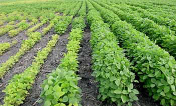 Pioneer (soybean) research plot showing extreme varietal differences in iron deficiency chlorosis tolerance.
