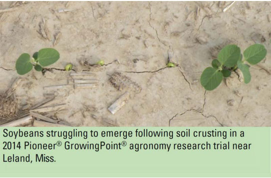 Soybeans struggling to emerge following soil crusting in a 2014 Pioneer® GrowingPoint® agronomy research trial near Leland, Miss.